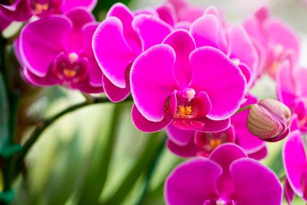 Phalaenopsis orquídea mariposa