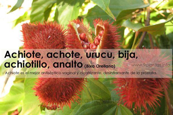 Achiote, achote, urucu, bija, achiotillo, analto (Bixa Orellana)