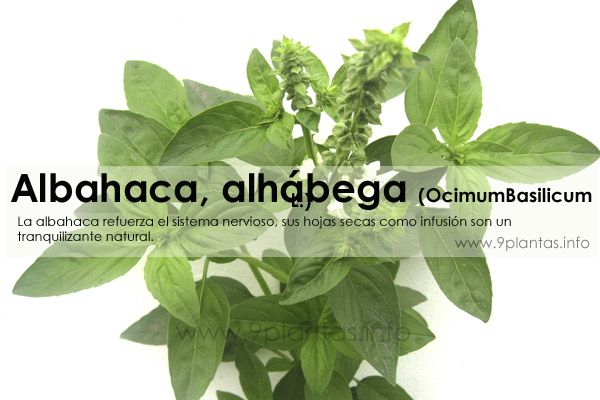 Albahaca, alhábega (OcimumBasilicum L.)