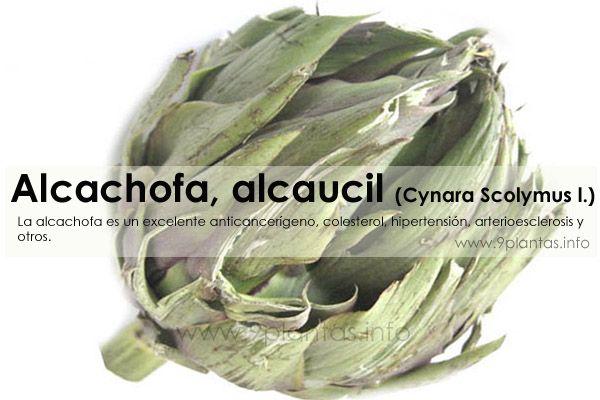 Alcachofa, alcaucil (Cynara Scolymus l.)