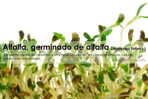 Alfalfa, germinado de alfalfa (Medicago Sativa L.)