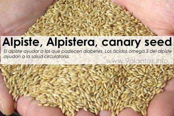 Alpiste, Alpistera, canary seed