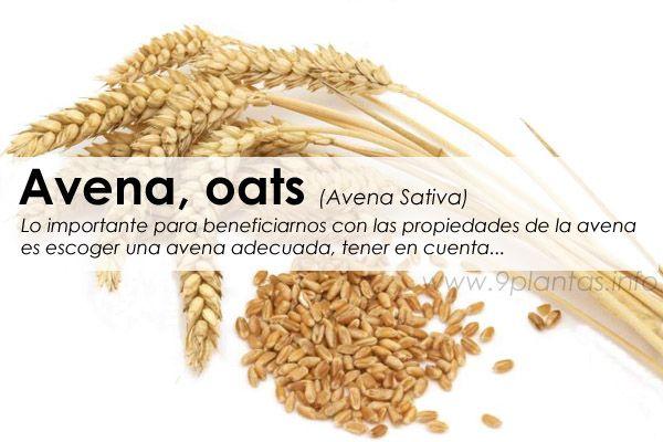 Avena, oats (Avena Sativa)