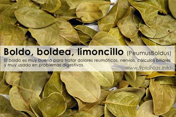 Boldo, boldea, limoncillo (PeumusBoldus)