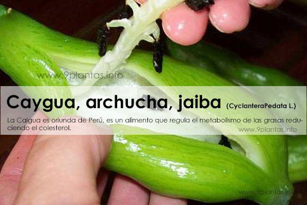 Caygua, caigua, archucha, jaiba (CyclanteraPedata L.)