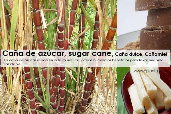 Caña de azucar, sugar cane  Caña dulce, Cañaduz, Cañamiel (Saccharum officinarum)