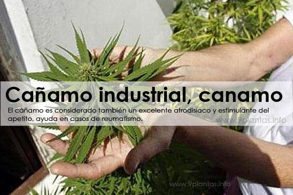 Cañamo industrial, canamo (Cannabis Sativa L.)