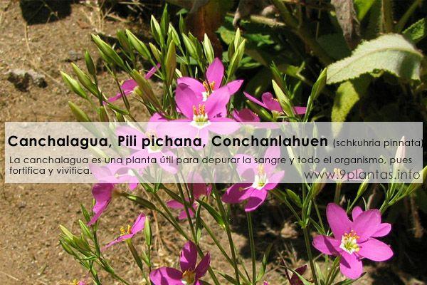 Canchalagua, Pili pichana, Conchanlahuen (schkuhria pinnata)