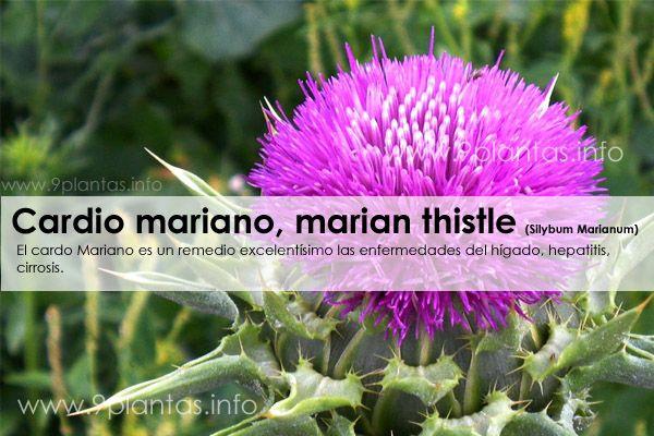 Cardio mariano, marian thistle (Silybum Marianum)