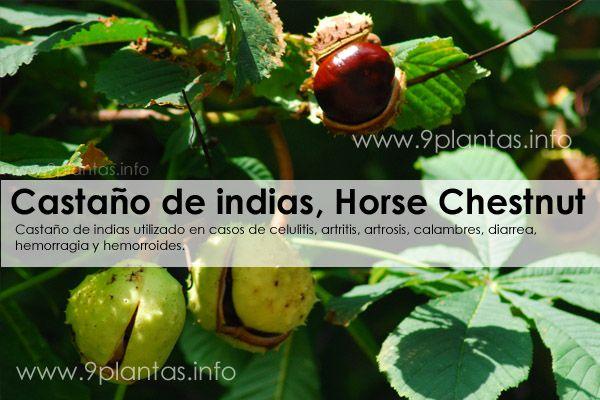 Castaño de indias, Horse Chestnut (Aesculus Hippocastanum)