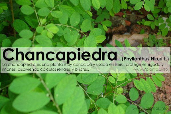 Chancapiedra (Phyllanthus Niruri L.)
