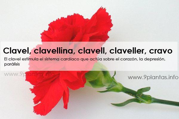 Clavel, clavellina, clavell, claveller, cravo