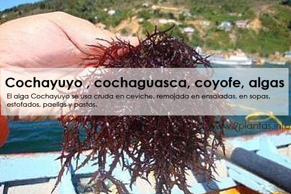 pl-cochayuyo.jpg