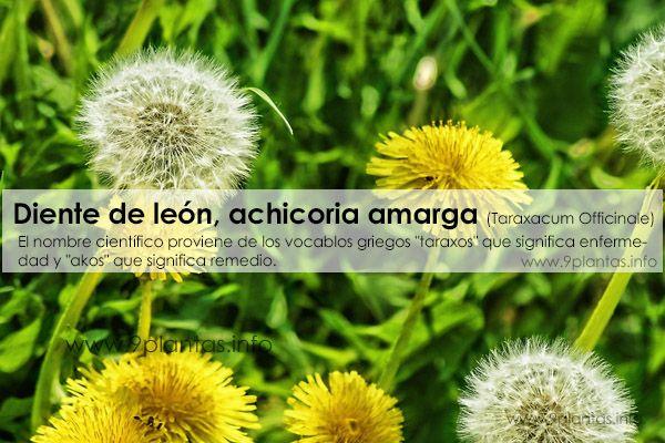 Diente de león, achicoria amarga (Taraxacum Officinale)