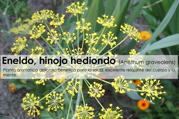 Eneldo, hinojo hediondo (Anethum graveolens)