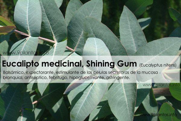 Eucalipto medicinal, eucalyptus, Shining Gum (Eucalyptus nitens)