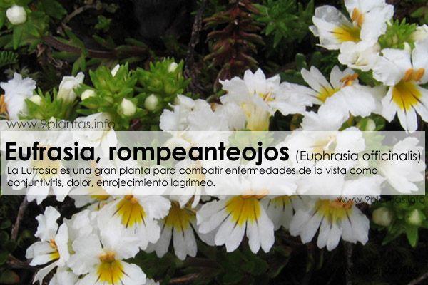 Eufrasia, rompeanteojos (Euphrasia officinalis)