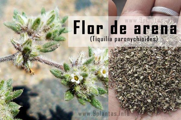Flor de arena, hierva blanca, te de indio (Tiquilia paronychoides)