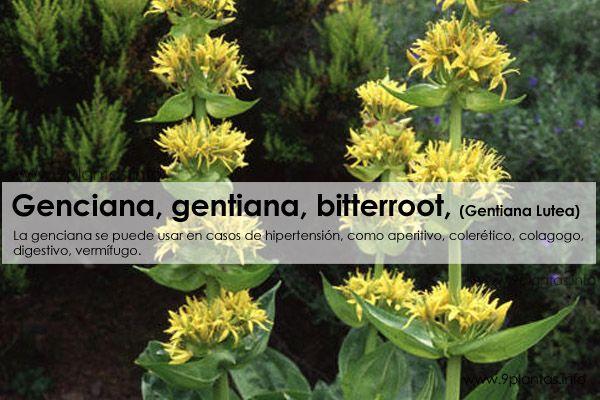 Genciana, gentiana, bitterroot, (Gentiana Lutea)