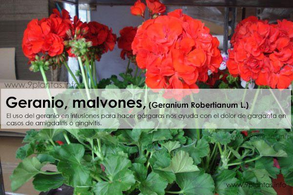 Geranio, malvones, (Geranium Robertianum L.)