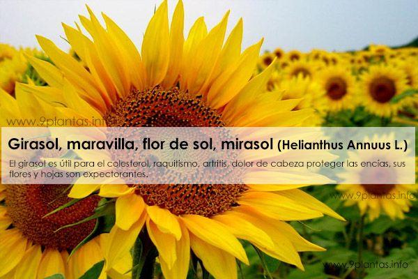Girasol, maravilla, flor de sol, mirasol, (Helianthus Annuus L.)