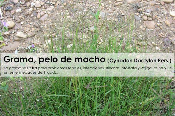 Grama, pelo de macho (Cynodon Dactylon Pers.)