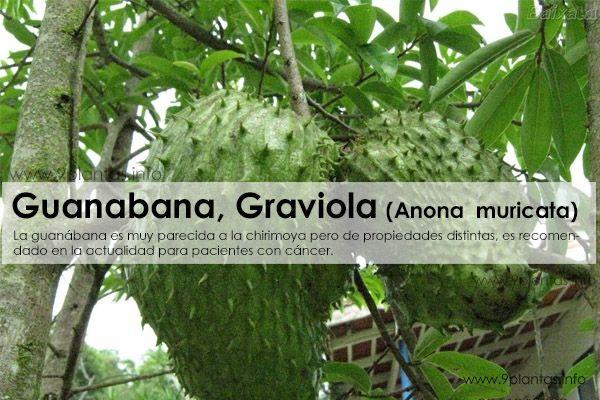 Guanabana, Graviola, (Anona muricata)