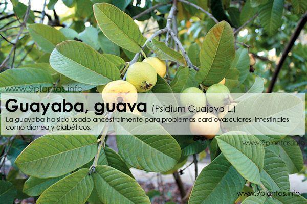 Guayaba, guava (Psidium Guajava L.)