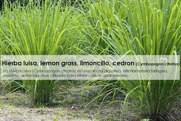 Hierba luisa citronella lemon grass limoncillo - Hierba luisa en maceta ...
