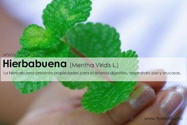Hierbabuena (Mentha Viridis L.)
