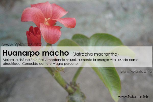 Huanarpo macho,  (Jatropha macrantha)