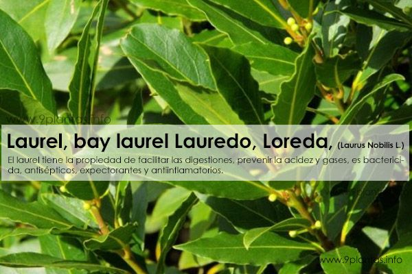 Laurel, bay laurel, sweet bay, Lauredo, Loreda, (Laurus Nobilis L.)