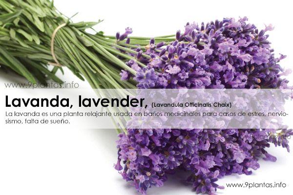 Lavanda, lavender, (Lavandula Officinalis Chaix)