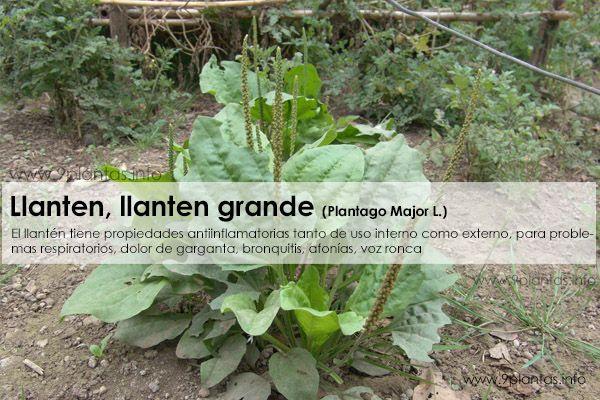 Llanten, llanten grande (PlantagoMajor L.)