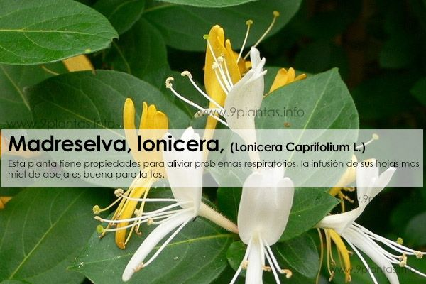 Madreselva, lonicera uso tradicional, (Lonicera Caprifolium L.)