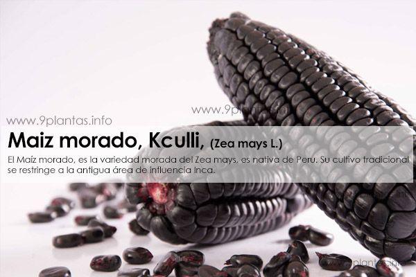 Maiz morado, Kculli, uso tradicional, (Zea mays L.)