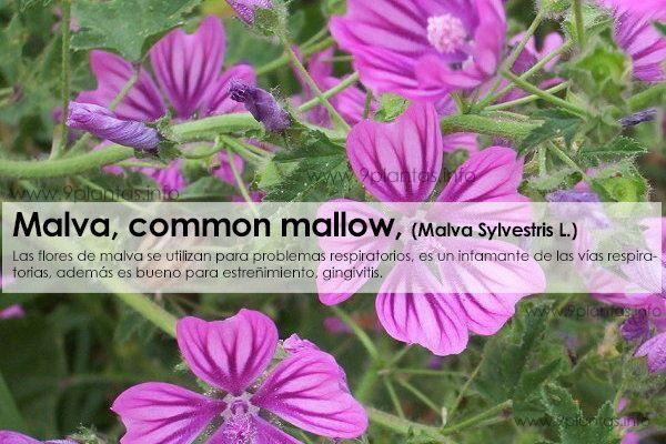 Malva, common mallow uso tradicional (Malva Sylvestris L.)