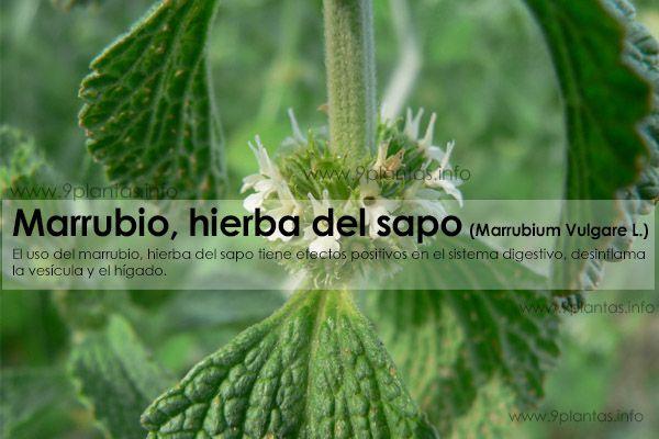 Marrubio, hierba del sapo (Marrubium Vulgare L.)