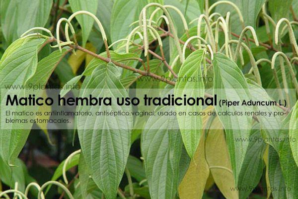 Matico hembra uso tradicional (Piper Aduncum L.)
