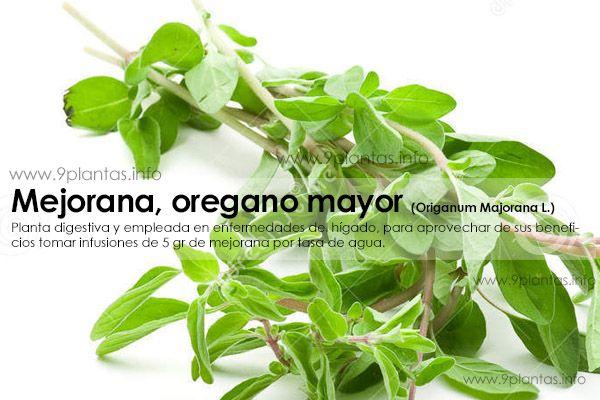 Mejorana, oregano mayor (Origanum Majorana L.)