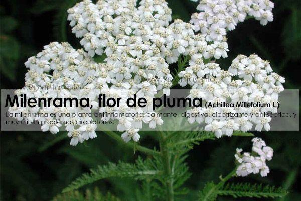 Milenrama, yarrow, flor de pluma (Achillea Millefolium L.)