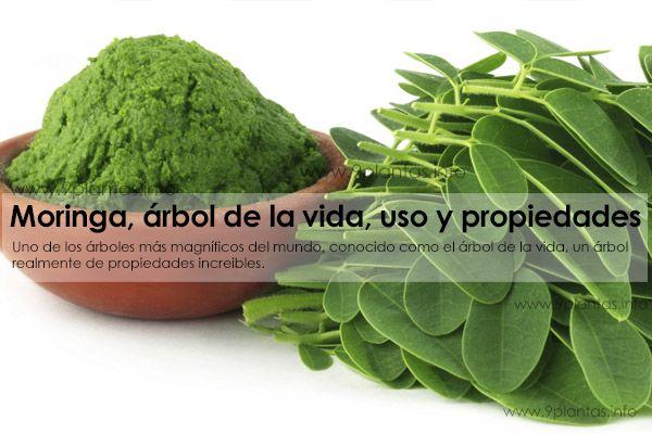 Moringa oleifera, arbol de la vida uso propiedades