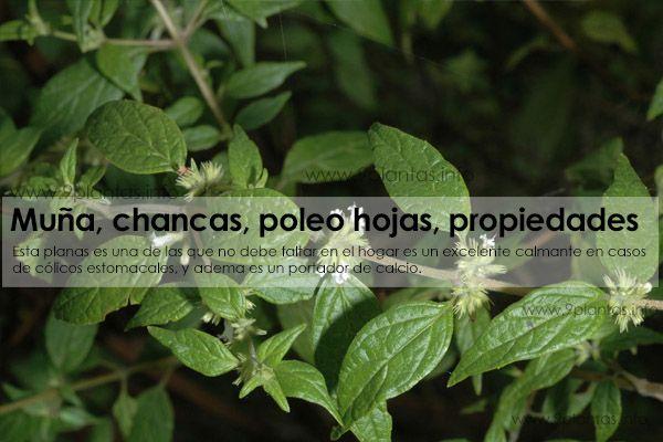 Muña, chancas, poleo hojas, (Minthostachys Setosa)