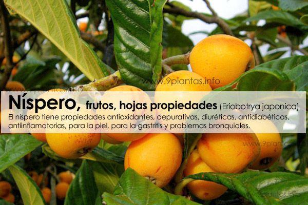Nispero, frutos, hojas propiedades (Eriobotrya japonica)