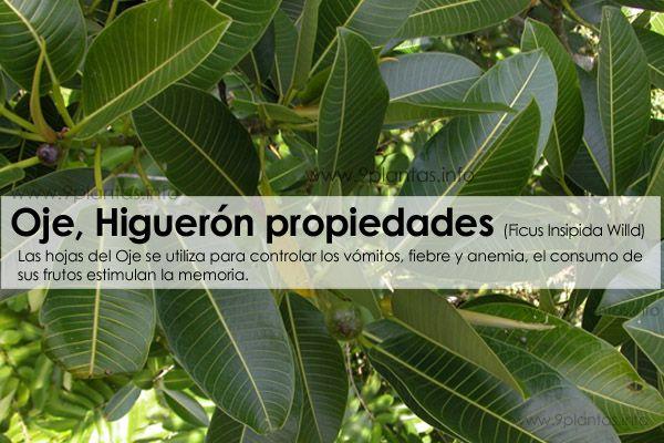 Ojé, Higuerón propiedades (Ficus Insipida Willd)