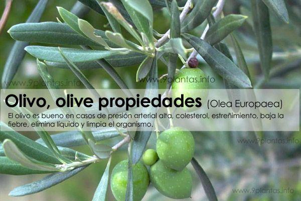Olivo, olive propiedades (Olea Europaea)