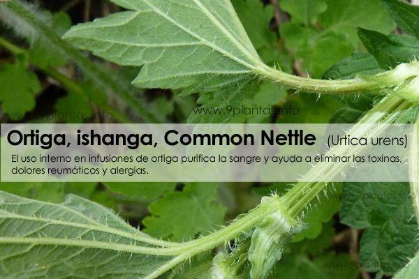 Ortiga, ishanga, Common Nettle propiedades (Urtica urens)