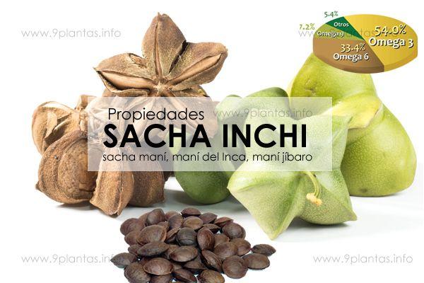 SACHA INCHI, sacha maní, maní del Inca, maní jíbaro