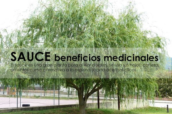 Sauce beneficios medicinales para el dolor