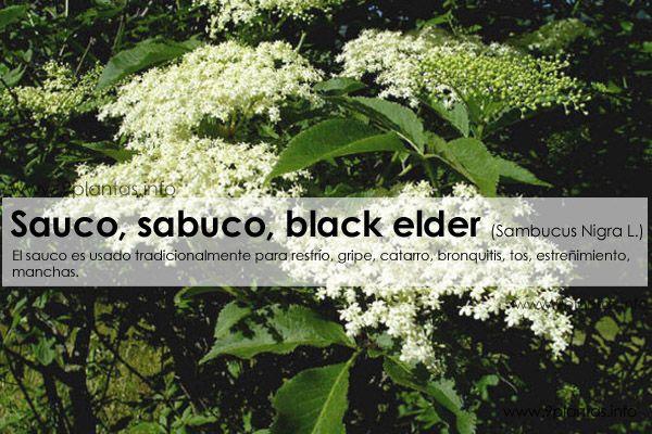 Sauco, sabuco, black elder  (Sambucus Nigra L.)